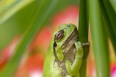 European green tree frog, Hyla arborea, resting by day, croaking by night in the wild in a cyprus garden. European green tree frog, Hyla arborea, resting by day royalty free stock images