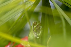 European green tree frog, Hyla arborea, resting by day, croaking by night in the wild in a cyprus garden. European green tree frog, Hyla arborea, resting by day royalty free stock photo