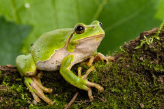 European green tree frog lurking for prey in natural environment. European green tree frog (Hyla arborea formerly Rana arborea) lurking for prey in natural stock image