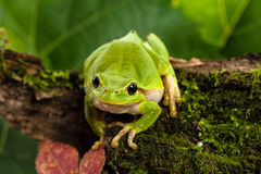 European green tree frog lurking for prey in natural environment. European green tree frog (Hyla arborea formerly Rana arborea) lurking for prey in natural Stock Photography