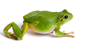 European green tree frog walking isolated on white. European green tree frog (Hyla arborea formerly Rana arborea) walking isolated on white stock photo