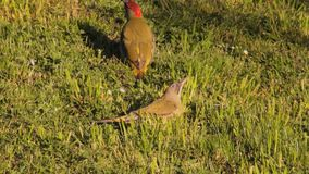 European Green Woodpecker stock footage