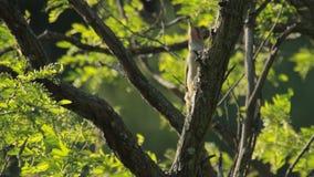 European Green Woodpecker stock footage