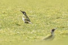 European Green woodpecker. Male and female European green woodpeckers (picus viridis) foraging on a green meadow searching for insects in the grass stock photos