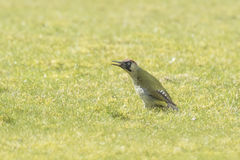 European Green woodpecker. Male and female European green woodpeckers (picus viridis) foraging on a green meadow searching for insects in the grass stock photo