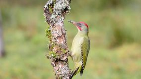 European green woodpecker perched stock video footage