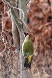 European green woodpecker. The European green woodpecker Picus viridis in autumn colors on a tree trunk with brown background royalty free stock image