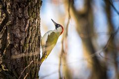European green woodpecker Picus viridis. Climbing on a tree in the forest royalty free stock photo