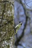 European green woodpecker Picus viridis Stock Image