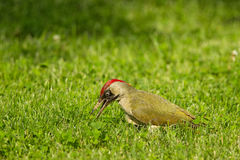 European green woodpecker Picus viridis Stock Photos