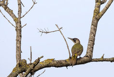 European Green Woodpecker Stock Photography