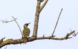 European Green Woodpecker Stock Images