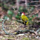European green woodpecker Royalty Free Stock Photos