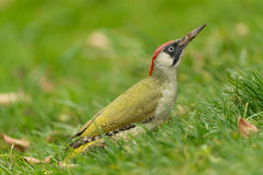 European green woodpecker Royalty Free Stock Photography