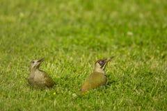 European green woodpecker & x28;Picus viridis& x29; Stock Photos