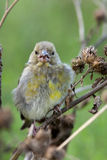 European Greenfinch, Carduelis chloris Royalty Free Stock Images