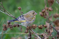 European Greenfinch, Carduelis chloris Royalty Free Stock Photo