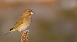 European Greenfinch - Carduelis chloris. Female royalty free stock images