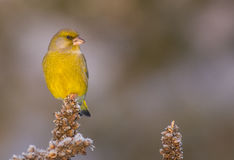 European Greenfinch - Carduelis chloris. Male royalty free stock images