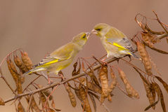 European Greenfinch - Carduelis chloris - male. European Greenfinch - Carduelis chloris - pair of male birds fighting fot the meal stock image