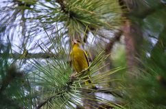 European greenfinch (Carduelis chloris). European greenfinch sits on the branch of a pine tree Royalty Free Stock Photos