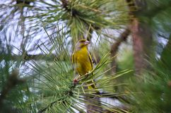 European greenfinch (Carduelis chloris). European greenfinch sits on the branch of a pine tree Royalty Free Stock Images