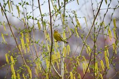 European greenfinch (Carduelis chloris). European greenfinch sitting on the branch of birch in spring day Stock Image