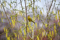 European greenfinch (Carduelis chloris). European greenfinch sitting on the branch of birch in spring day Royalty Free Stock Images