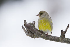 European greenfinch Stock Image