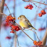 European Greenfinch (Carduelis chloris) Stock Photos