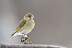 European greenfinch Royalty Free Stock Photo