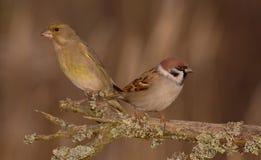 European Greenfinch - Chloris chloris & Eurasian Tree Sparrow - Passer montanus Stock Photography