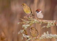 European Greenfinch - Chloris chloris & Eurasian Tree Sparrow - Passer montanus Royalty Free Stock Image