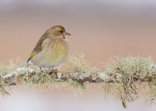 European greenfinch - Chloris chloris. At a wetland on a cold winter day royalty free stock images