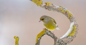 European greenfinch - Chloris chloris. At a wetland on a cold winter day stock photos