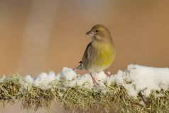 European greenfinch - Chloris chloris. At a wetland on a cold winter day stock photo
