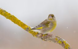European greenfinch - Chloris chloris. At a wetland on a cold winter day royalty free stock image