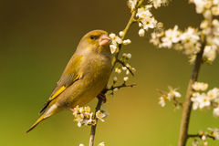 European Greenfinch close-up. European Greenfinch on branch between the blossom Stock Photo