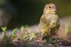 European Greenfinch. The construction of the green is almost equal to that of the flag, but the green plumage of the male is particularly the green unmistakable Stock Photos