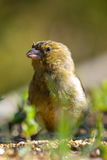 European Greenfinch. The construction of the green is almost equal to that of the flag, but the green plumage of the male is particularly the green unmistakable Stock Images