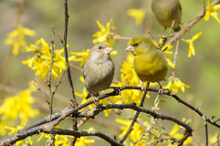 European Greenfinch couple (Carduelis chloris) Royalty Free Stock Photo