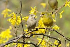 European Greenfinch couple (Carduelis chloris) Royalty Free Stock Photo