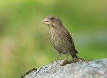 European greenfinch Stock Image