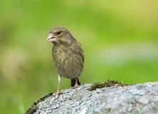 European greenfinch Stock Photos