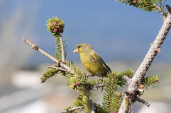 European Greenfinch Stock Photography