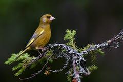 European greenfinch Royalty Free Stock Image