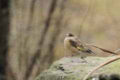 European greenfinch Royalty Free Stock Photography