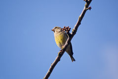 European Greenfinch sitting on a branch.  royalty free stock photo
