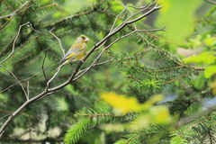 European greenfinch Stock Images
