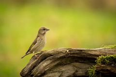 European Greenfinch sitting in the branch, bird in the branch, green and yellow bird, europe, czech republic, south moravia. stock photography